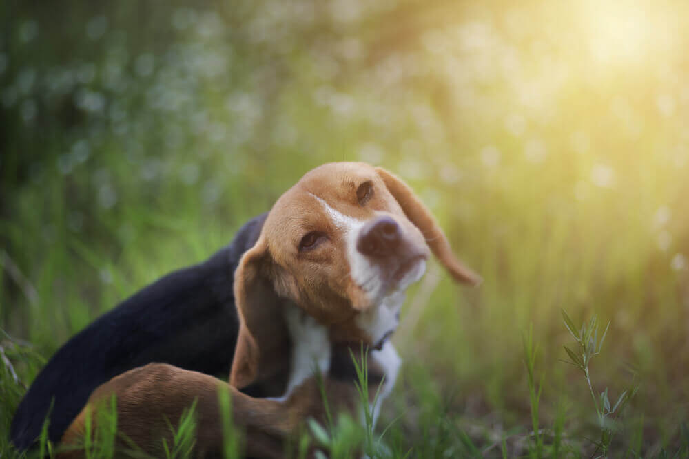 Solving Skin Allergies: Why is Your Pet So Itchy?