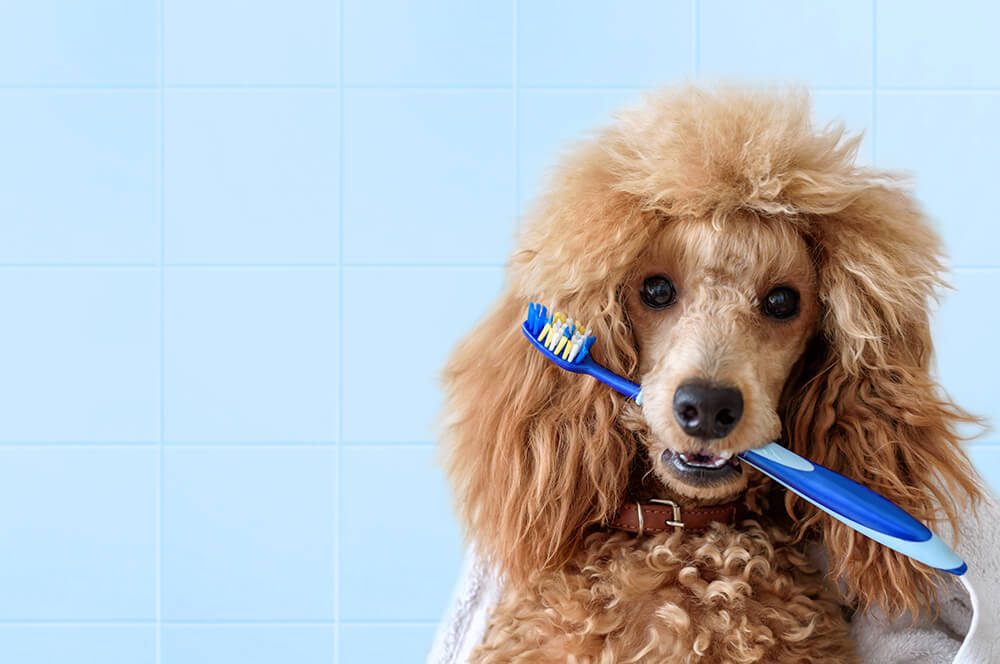 Cute dog with tooth brush on the bathroom.