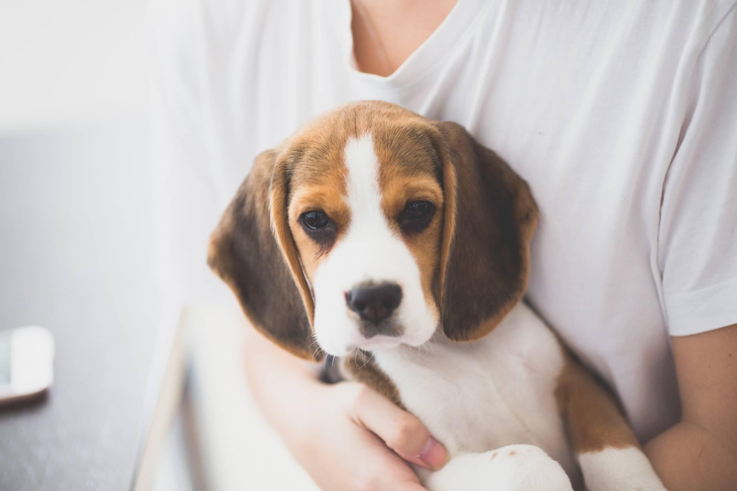 person holding tri-color beagle puppy